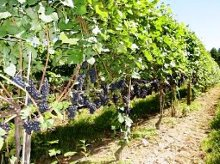 Vines To Wines Tours
